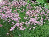 紫の花 in モネガーデン