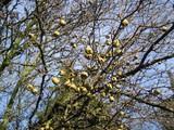 冬枯れの梨
