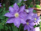 クレマチス花