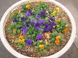 紫と黄色寄せ植え